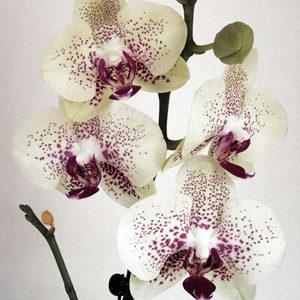 Орхидея фалаенопсис NV418