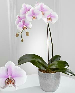 Орхидея фалаенопсис NV419