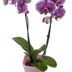 Орхидея фалаенопсис NV420