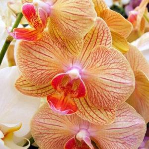 Орхидея фалаенопсис NV421