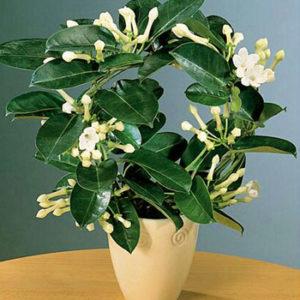 Саксийно цвете NV409