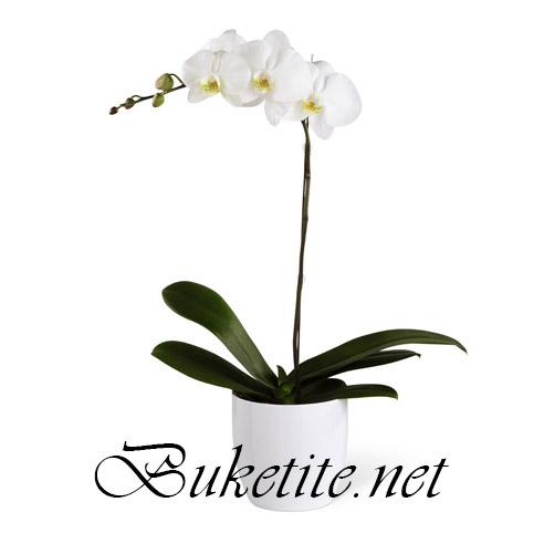 Саксийно цвете - Бяла орхидея