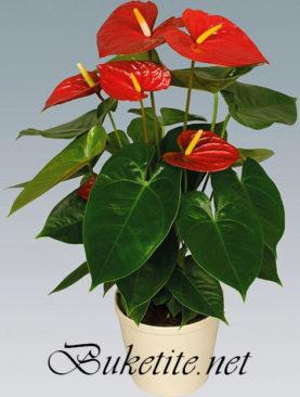 Саксийно цвете - Антуриум SK008