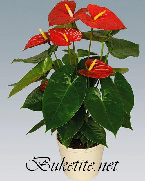 Саксийно цвете - Антуриум