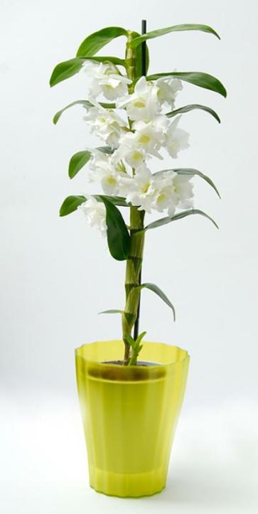 киснене на орхидея